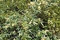 Rubus schmidelioides kz3.jpg