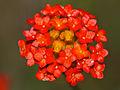 Ruby Gnidia (Gnidia rubescens) close-up (11421758284).jpg