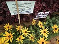 Rudbeckia from Lalbagh flower show Aug 2013 8273.JPG