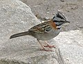 Rufous-Collared Sparrow 3 (90112022).jpg