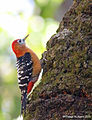 Rufous-bellied Woodpecker (male).jpg