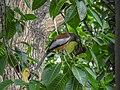Rufous treepie (Dendrocitta vagabunda) 03.jpg
