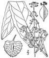 Rumex britannica BB-1913.png