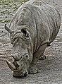 SOUTHERN WHITE RHINOS -DUBLIN ZOO - PHOENIX PARK--128959 (34043980223).jpg