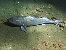 Sablefish resting on sediment.jpg