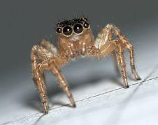 Saitis.barbipes.female.high.legs.jpg