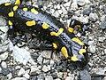 Salamandra salamandra 22.jpg