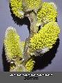 Salix caprea sl7.jpg