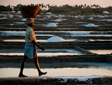 Salt-field worker in Tamil Nadu wearing Lungi in typical tucked-up position for Work