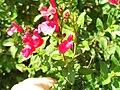 Salvia grahamii Flowers DehesaBoyalPuertollano.jpg