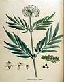 Sambucus ebulus — Flora Batava — Volume v18.jpg