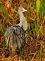 Sandhill Crane at the Viera Wetlands - Flickr - Andrea Westmoreland.jpg