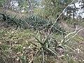 Sansevieria downsii in Muidumbe (7709055874).jpg
