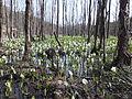 Sashimaki Wetland 20150418.JPG