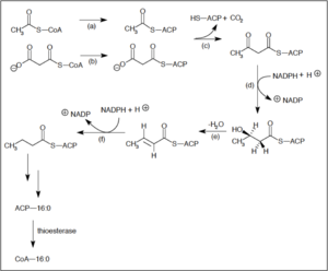 Fatty acid synthesis -  Synthesis of saturated fatty acids via Fatty Acid Synthase II in E. coli