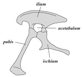 Saurischia pelvis