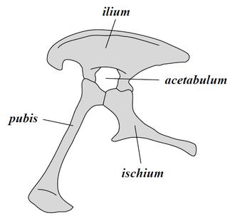 Saurischia - Image: Saurischia pelvis