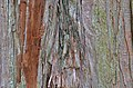 Sawara Falsecypress Chamaecyparis pisifera Bark Horizontal.JPG