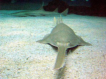 Green sawfish (Pristis zijsron) at the Genova ...