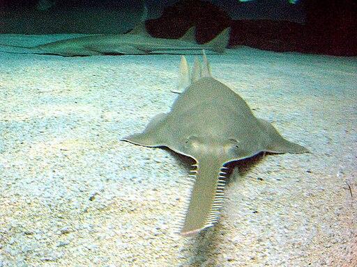Sawfish genova