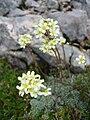 Saxifraga paniculata.jpg