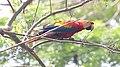 Scarlet Macaw (Ara macao) (5772392932).jpg