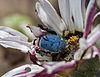 Male blue monkey beetle on an African daisy in South Africa