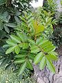 Schinus terebinthifolia kz1.JPG