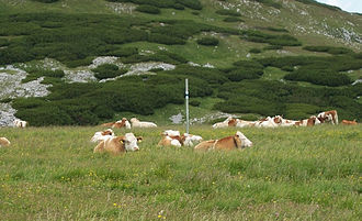 Economy of Austria - Cows near top of mountain Schneeberg