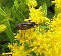 Sciaridae goldenrod female.jpg