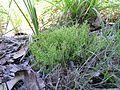 Scleranthus biflorus plant1 Walcha NT - Flickr - Macleay Grass Man.jpg