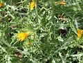 Scolymus hispanicus (Spanish Oyster Plant) - Flickr - S. Rae.jpg