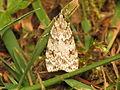 Scoparia pyralella (14486150412).jpg