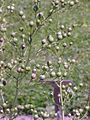 Scrophularia nodosa3.jpg