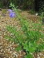 Scutellaria strigillosa1.jpg