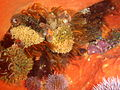 Sea urchins, feather stars and bryozoans on an orange wall sponge at Castle Rocks P7260916.JPG