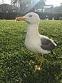Seagull 33.jpg