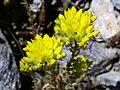 Sedum rupestre subsp. reflexum (15157247195).jpg