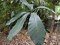 Semecarpus anacardium-small plant-l.jpg