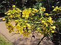 Senna siamea leaves and flowers 03.jpg