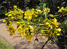 Senna siamea leaves and flowers 03.jpg