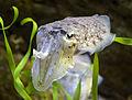 Sepia officinalis 2647-crop.jpg