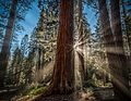 Sequioa Giants, Yosemite's Mariposa Grove, California--United States.jpg