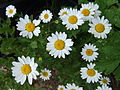 Several daisies (Asteroideae) top.jpg