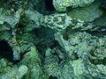Sharm El Sheikh stonefish.jpg