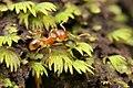 Shattuck 52542, Lophomyrmex, Danum Valley, Sabah-web (5042336747) (2).jpg