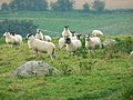 Sheep and Grey Wethers, Fyfield NNR, near Manton - geograph.org.uk - 969399.jpg
