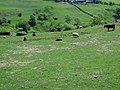 Sheep and cattle - geograph.org.uk - 461158.jpg
