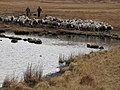 Sheep herding, Burnmoor Turn - geograph.org.uk - 762178.jpg