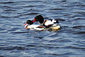 Shelduck mating.jpg